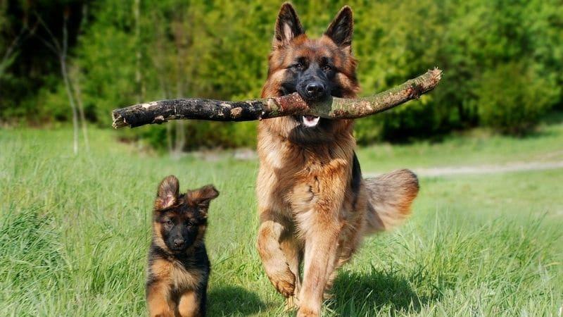 berger-allemand : chiot et adulte