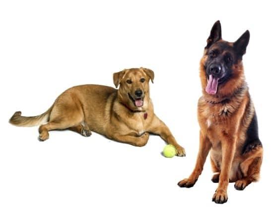 deux grands chiens